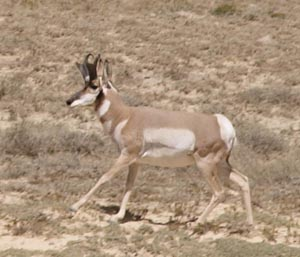 Pronghorn Buck in Shirley Basin Wyoming